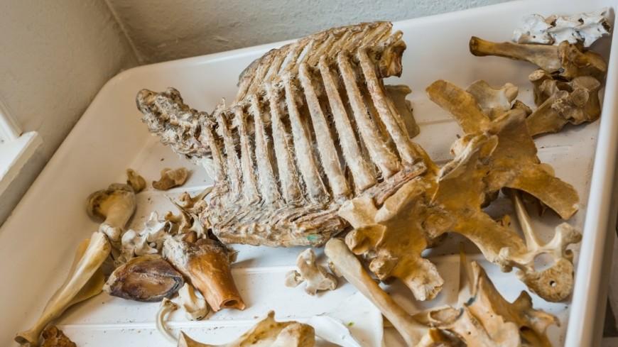 НаКамчатке отыскали скелет морской коровы, вымершей 250 лет назад