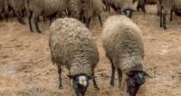 Французские фермеры привели на акцию протеста тысячу овец