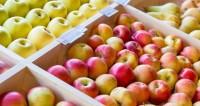 Яблочный рай: садоводы привезли в Губу две тонны фруктов