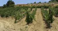 В Минсельхозе РФ собрались вдвое увеличить площади виноградников