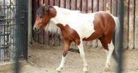Великаны и карлики: в Москве показали самых необычных лошадей