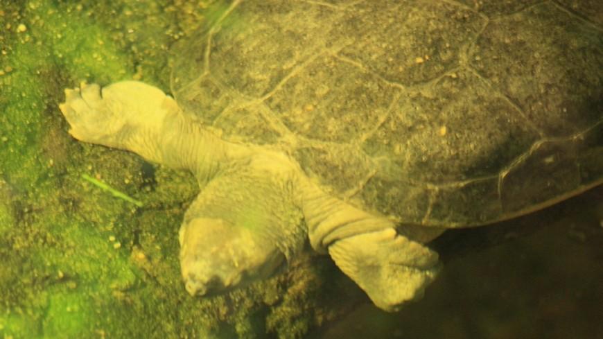 Черепах уберегов сальвадора могли погубить водоросли