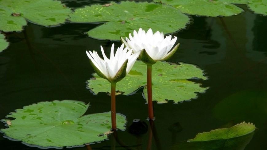 Кувшинка-гигант расцветет в«Аптекарском огороде» столицы