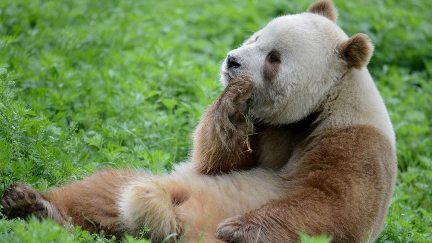 Предки больших панд жили в Европе