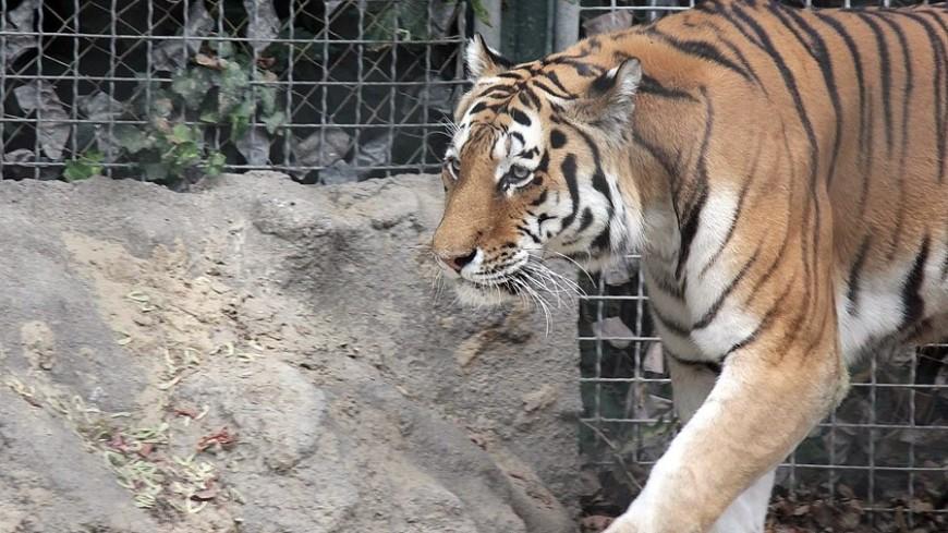 Тигр изцирка шапито разорвал работницу цирка вовремя кормежки
