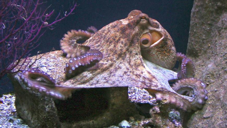 Кудрявые осьминоги-самоубийцы озадачили ученых