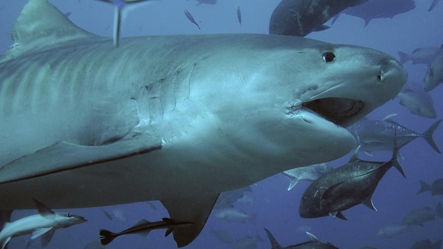 Тигровая акула бросилась на водолаза в Австралии