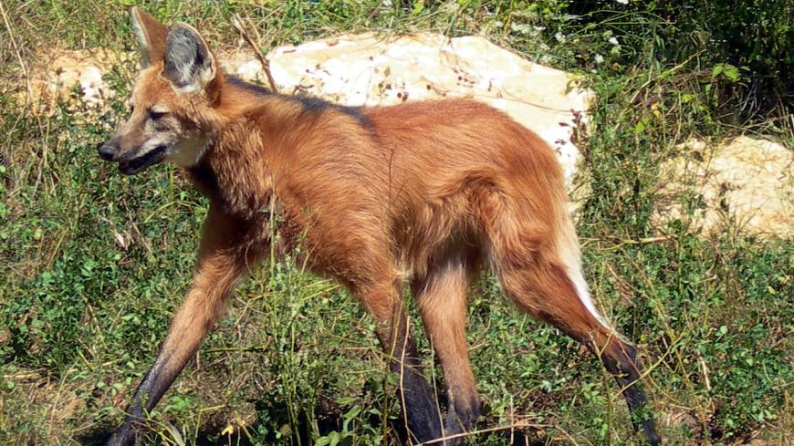 Под угрозой исчезновения: гривистая волчица переехала вМосковский зоопарк