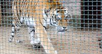 В Хабаровском крае поймали тигрицу-людоедку