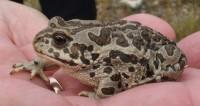 На берегах Байкала сохранят популяцию монгольской жабы