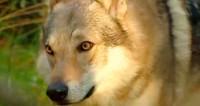 Герои «МИРа»: белоруска перебралась в глухой хутор воспитывать волков