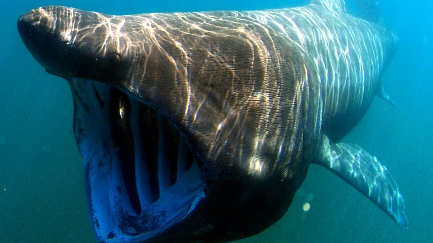 Акула-нянька вцепилась вживот ныряльщика