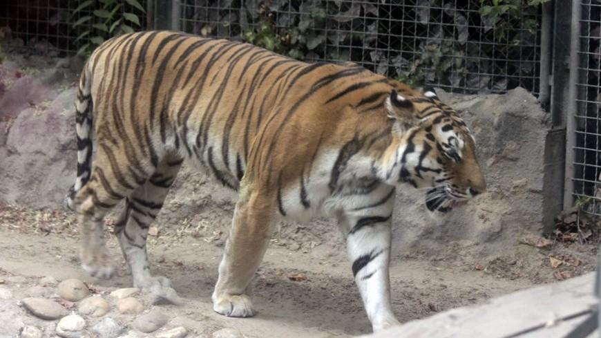 Руководитель МСХРК пообещал вернуть тигров вКазахстан