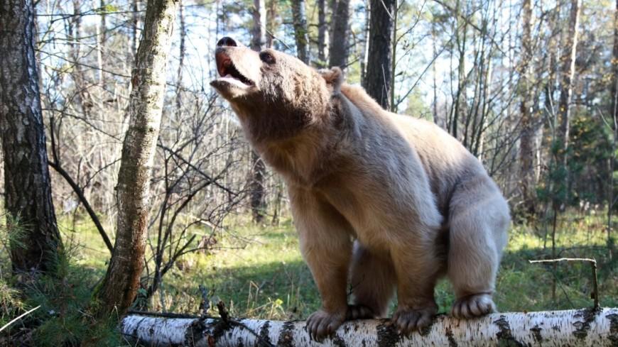 Под Тюменью застрелили медведицу, которая вышла с медвежонком к людям