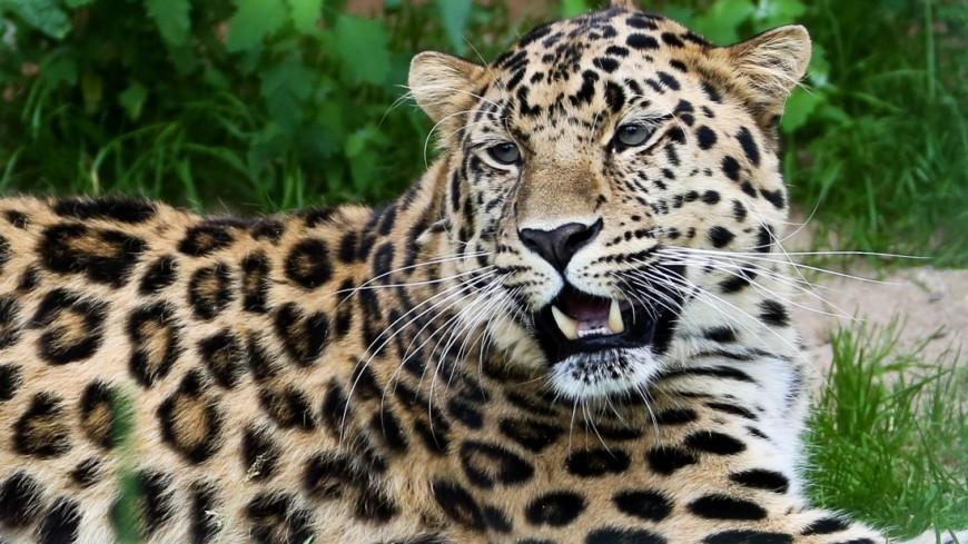 Центр дальневосточного леопарда открылся внацпарке Приморья