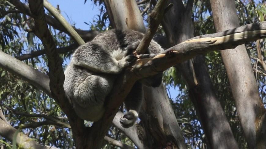 В Австралии коала проехала на оси внедорожника 16 км