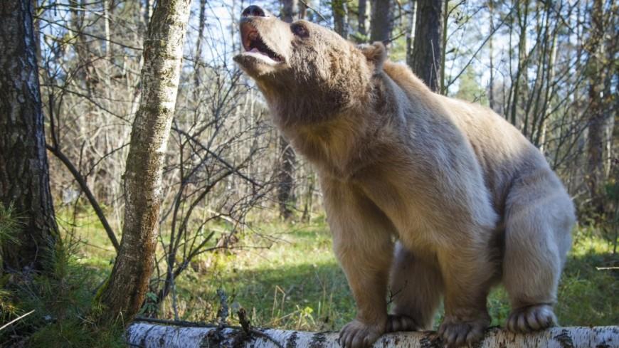 Медведь освежился в джакузи в жаркий калифорнийский день