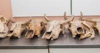 Найден древнейший череп коровы со следами трепанации
