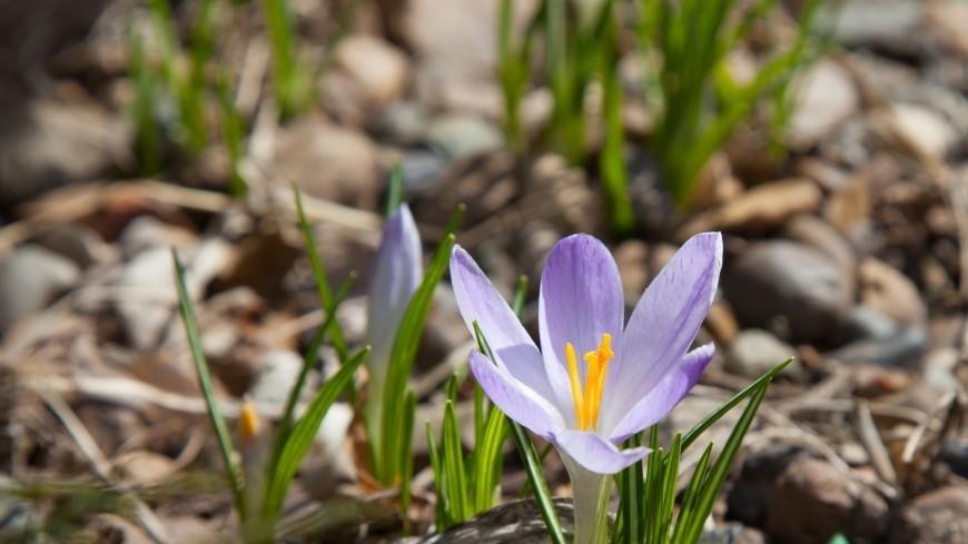 Москвичи увидят первоцветы в середине апреля