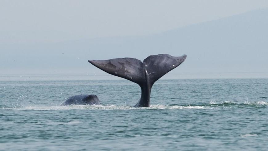 Гренландские киты исполняют «джаз» ради самок