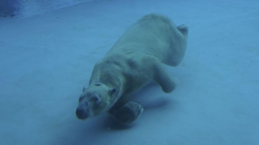 © Фото: «Мир 24», зоопарк, белый медведь