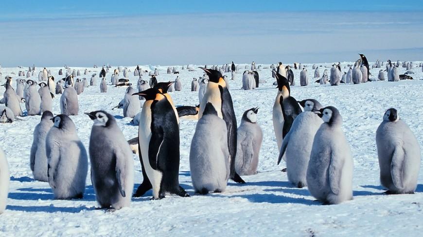 Новый рекорд: императорский пингвин пробыл под водой 32,2 минуты