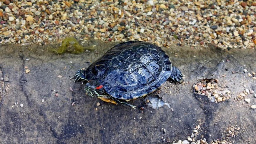 Неспешно: черепаха три дня «сбегала» от хозяйки на соседнюю улицу