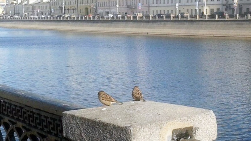 """Фото: Елена Карташова, """"«МИР 24»"""":http://mir24.tv/, набережная, москва-река, птицы, воробьи"""