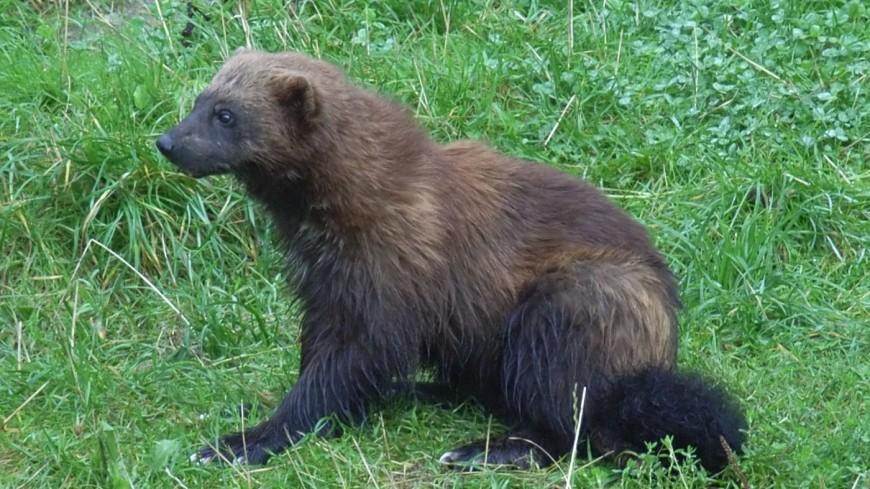 В Московском зоопарке родился малыш росомахи