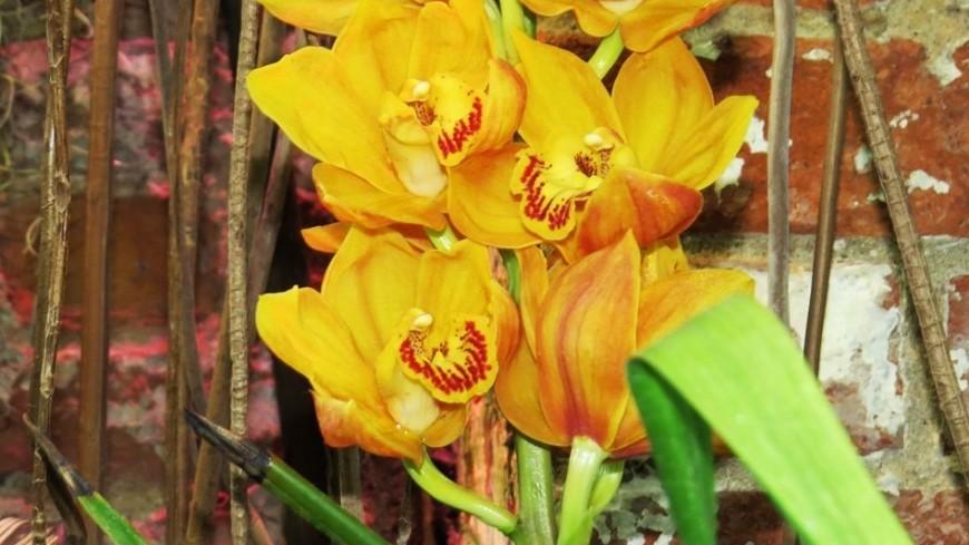 В «Аптекарском огороде» расцвела редчайшая абрикосовая орхидея