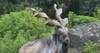 В Таджикистане восстановили популяции редких видов козлов и баранов