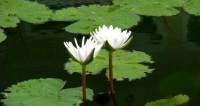 "Фото: Сергей Рабкин (МТРК «Мир») ""«Мир 24»"":http://mir24.tv/, кувшинка, таиланд, болото, пруд, цветы, лотос"