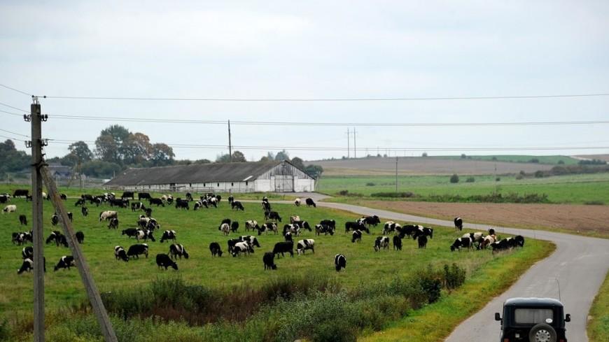 Деревня Вишнево, родина Шимона Переса, стадо коров, шимон перес, вишнево, село, сельский пейзаж, коровы, коровы на поле