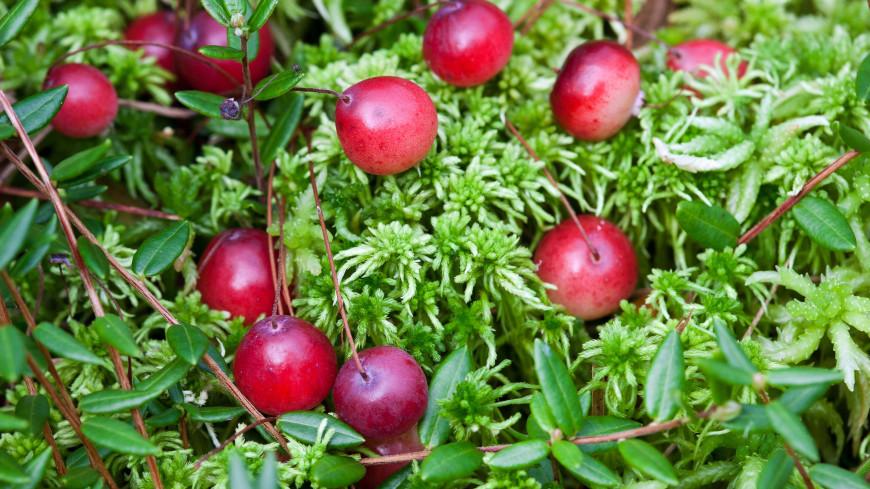 В Подмосковье впервые за сто лет найдена краснокнижная ягода