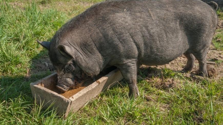 Свиноводческая ферма в Подмосковье
