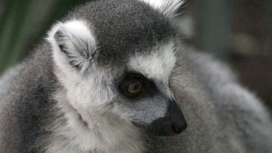 Лемуров признали вымирающим видом