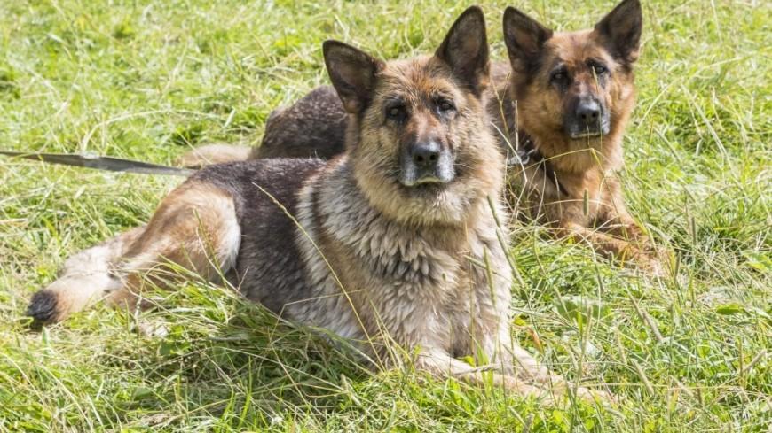 Из-за жары служебных собак в Австрии обули в ботинки