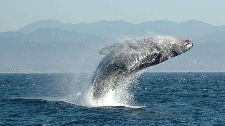Ученый снял на видео новорожденного детеныша горбатого кита