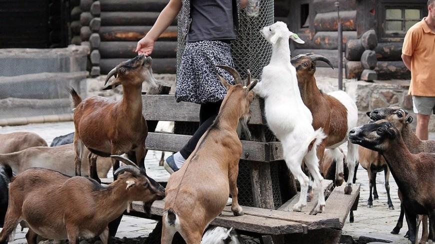 "© Александр Попов, ""«МИР 24»"":http://mir24.tv/, фото, коза, козы"
