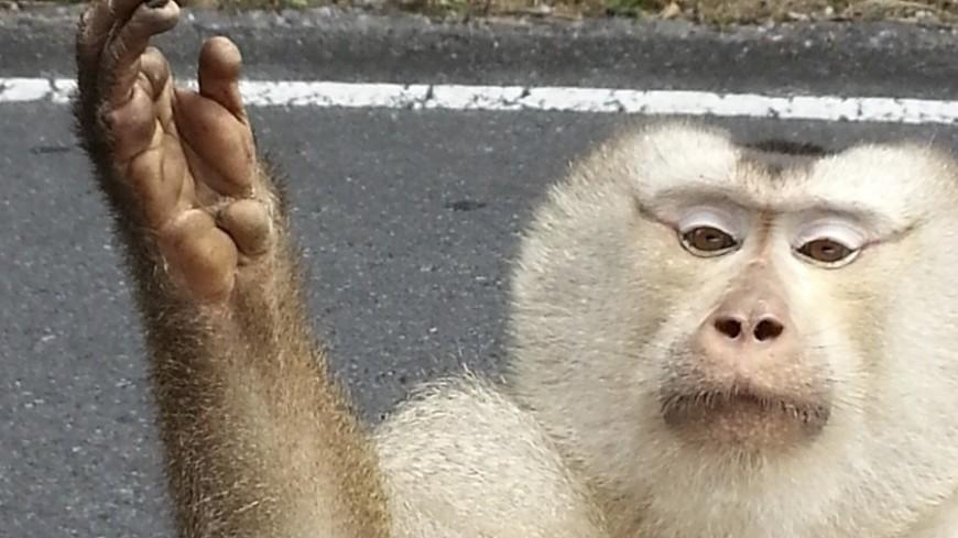 © Фото: МТРК «Мир», животные, тай, таиланд, обезьяна