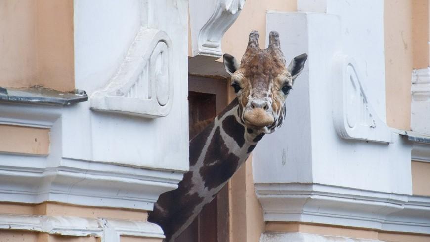 Как спит жираф: аудиогид расскажет об обитателях Московского зоопарка