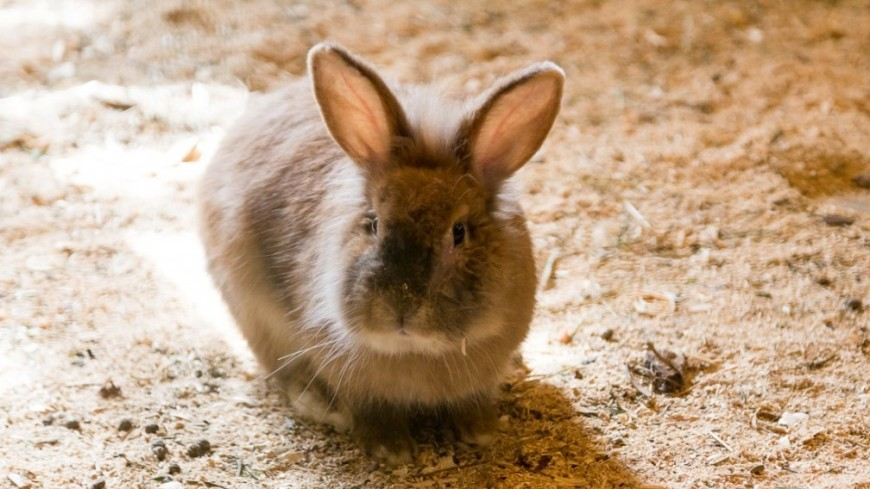 "Фото: Максим Кулачков, ""«Мир 24»"":http://mir24.tv/, кролик, заяц"