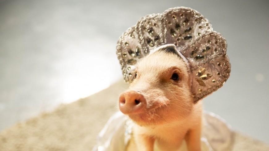 новый год 2018, новый год, год свиньи, поросята, свинья, мини пиг,