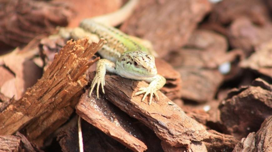 Ящерица зеленая, рептилии, ящерица