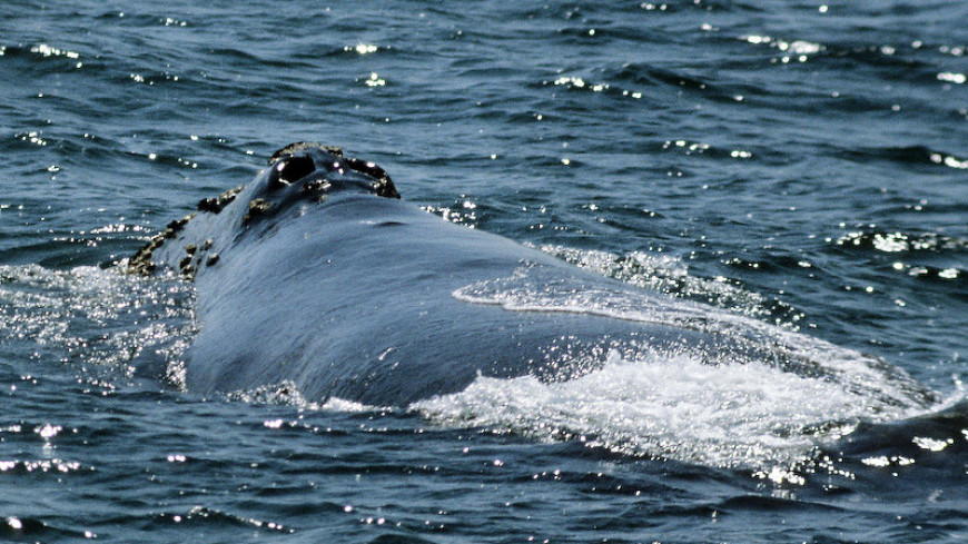 К берегам Чукотки приплыл редчайший японский кит