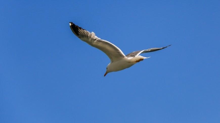 армения, птица, чайка