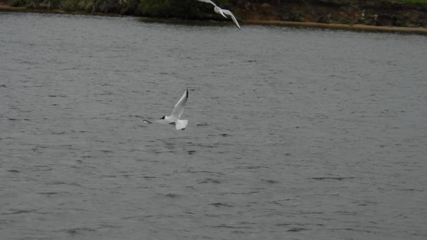 "Фото: Сергей Минеев (МТРК «Мир») ""«Мир 24»"":http://mir24.tv/, пруд, чайки, чайка, птица, море, река, озеро"