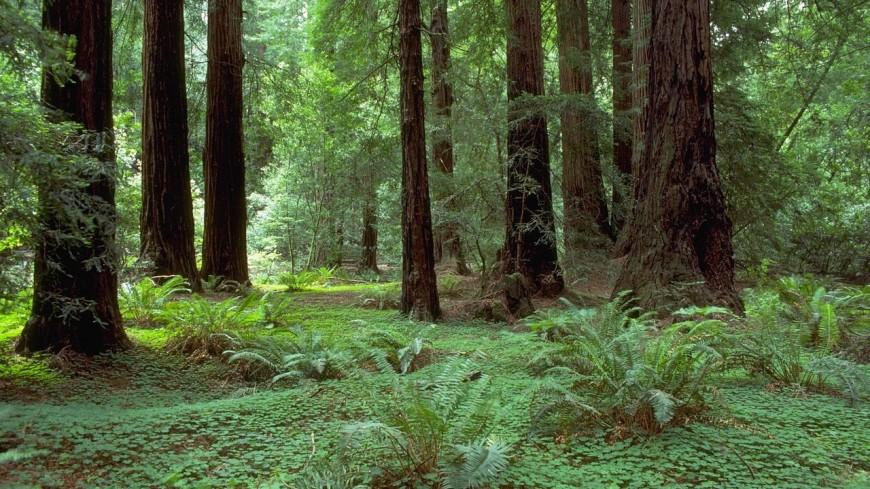 В Калифорнии посадили 75 клонированных секвой, которым несколько тысяч лет