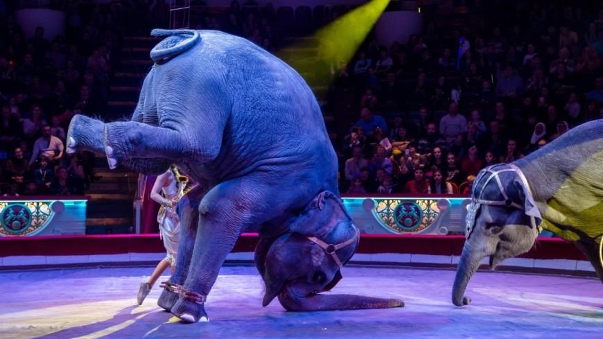 """Фото: Дмитрий Белицкий (МТРК «Мир») """"«Мир 24»"""":http://mir24.tv/, арена, цирк, нина корнилова, слоны, московский цирк на цветном бульваре, животные"""