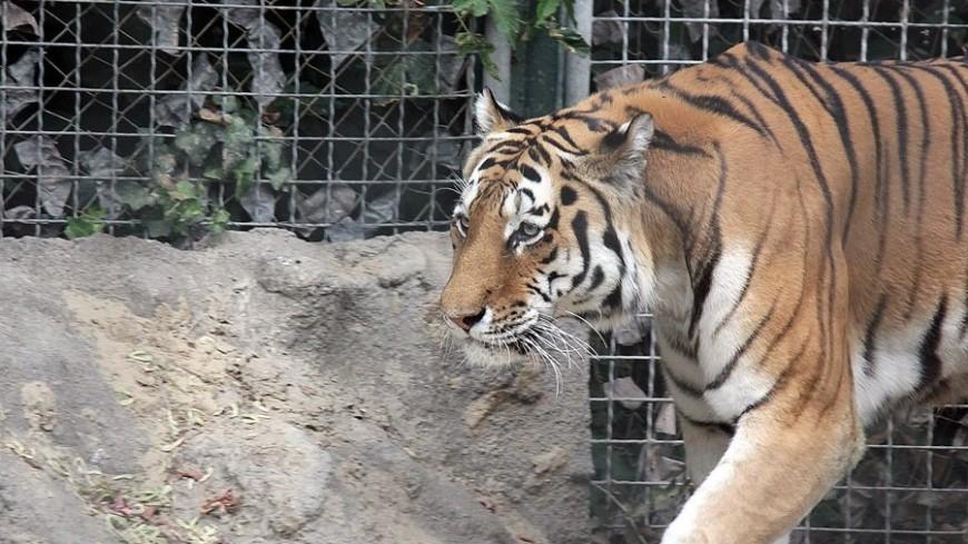 В Казахстане упала в кювет фура с тигром в прицепе